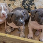 American Bully puppy Kobe and his littermates