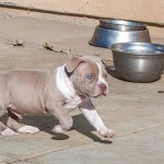 American Bully puppy Kobe running